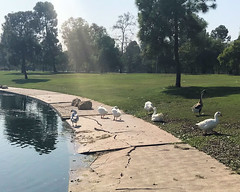 031 These Geese Are In The Way (saschmitz_earthlink_net) Tags: 2017 california longbeach eldorado orienteering laoc losangelesorienteeringclub losangeles losangelescounty eldoradoeastregionalpark park parks