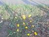 538 (en-ri) Tags: fiorellini giallo erba grass sony sonysti little flowers