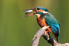 Female Kingfisher (Alcedo Atthis) with Fish - 2/5 The Flip (Karen Roe) Tags: lackford lake lackfordlake naturereserve nature reserve suffolk county england britain uk unitedkingdom greatbritain gb canoneos760d canon 760d 150600mm sigma zoom wildlife hide september 2017 peaceful quiet tranquil outside autumn weather season camera photography photograph photographer picture image snap shot photo karenroe female flickr visit visitor common kingfisher alcedoatthis toss