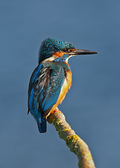 Kingfisher..couple more from October (Scuba`Steve`) Tags: kingfisher