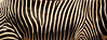DNA Barcoding (zimbart) Tags: africa kenya samburu fauna vertebrata mammals perissodactyla equidae equus equusgrevyi