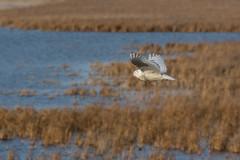 Snowy Owl over Fish Point SWA (Bill VanderMolen) Tags: snowyowl owl fishpointswa snowyowlinflight michigan