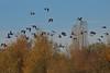 2017_11_0264 (petermit2) Tags: greylaggoose goose geese hatfieldmoors hatfield lindholme doncaster southyorkshire yorkshire peat bog humberheadpeatlands humberhead naturalengland nnr