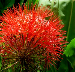 red and spiky (Grenzeloos1) Tags: bloodylily scadoxusmultiflorus red flower