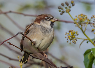 House Sparrow ( Passer domesticus ) Male