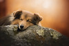 Sleeping into the woods (Audrey Bellot Photographie) Tags: dog sheltie sleep tone stone