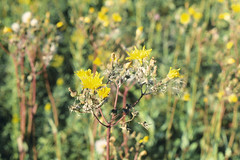 Weeds09.tif (NRCS Montana) Tags: weeds noxious thistle sowthistle