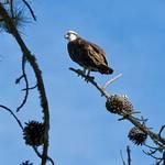 Osprey near Marina thumbnail