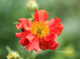 Geum red flower - Mrs Bradshaw