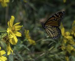 MonarchButterfly_SAF2346 (sara97) Tags: danausplexippus butterfly copyright©2017saraannefinke endangered insect missouri monarch monarchbutterfly nature photobysaraannefinke pollinator saintlouis flight inflight