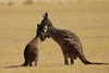 Mothers love! (m&em2009) Tags: kangaroo roo joey baby mother field grass animal australia mamals