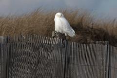 7D2_9331.jpg (rdelonga) Tags: brightwhitemale snowyowl duxbury ma usa
