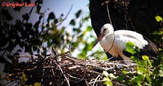 Weißstorch/White Stork (Ciconia Ciconia)