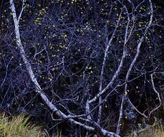 Hermaion: The Lyre Tree º (CactusD) Tags: glennevis glen nevis abstraction lyre birch woodland scotland autumn colour autumncolour trees greatbritain great britain nikon d800e fx texture uk unitedkingdom gb landscape intimatelandscape detail film 5x4 4x5 details fuji fujichrome velvia velvia50 largeformat large format digitized linhof technikardan tks45 s45 fujinont400mmf58 400mm f8 tilt shift tiltshift movements pce 85mmf28pce 85pce 85mm f28