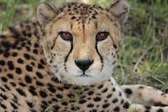The eyes of a beast (joãoarrais1) Tags: safari bigcat cats cat animalportrait portrait eyes fastestanimal running run spots namíbia africa park wildlife wild animal cheetah digitalcamera digital zoomlenses zoom canont3i canon600d canon