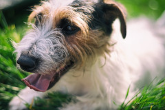 Happy Birthday Titch! (Rob Furminger) Tags: happy birthday titch pet portrait dog jack russell terrier hound cute old man panting laid grass tongue color colour colourful colorful