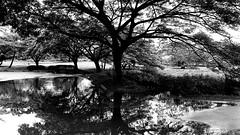 Reflecting Tree (MassiveKontent) Tags: hawaii wailua kauai silhouette hawaiin island seascape landscapephotography reflection monochrome bw blackandwhite tropics pacific ocean poipu