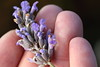Lavender (Patrick JC) Tags: macromondays fingertips lavendar flower hands autumn cold finger macro