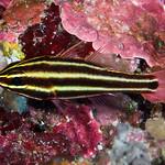 Blackstripe Cardinalfish, yellow stripes variant - Ostorhinchus nigrofasciatus thumbnail