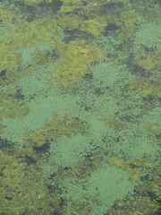 Bath - at Prior Park (Dubris) Tags: england somerset bath priorpark nationaltrust landscapegarden georgian water lake duckweed green