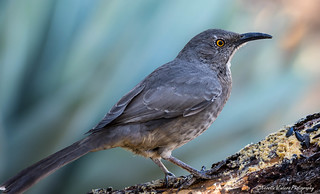 Curve-billed thrasher loving the bark butter.