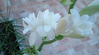A beleza da Flor Angélica  //  The beauty of the angelic flower