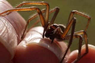 Spider on my fingertips (4104)