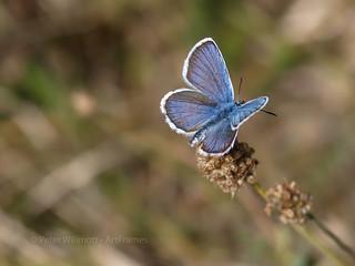 Silver-studded Blue - Plebejus argus -  France