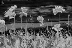 Poppies (Patricia Henschen) Tags: twinlakes colorado rural topoftherockies scenicbyway reservoir lake glacial mountain mountains sawatch range lakecounty sanisabelnationalforest backroads backroad museum visitorcenter historicdistrict mining town miningheritage blackkwhite