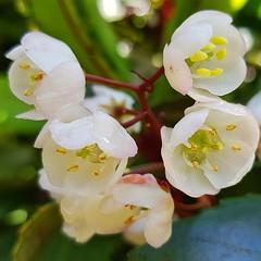 Tasmanian Laurel (edgetas.com - tasview.com) Tags: anopterus anopterusglandulosus tetracarpaeaceae tasmanianlaurel arfp trfp cooltemperatearf understoreyarfp arfflowers whitearfflowers escalloniaceae