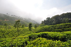 India - Kerala - Munnar - Tea Plantagen - 210 (asienman) Tags: india kerala munnar teaplantagen asienmanphotography