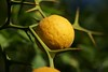 Orange (Shutter_Hand) Tags: texas usa miguelmendozamuñoz clarkgardens botanicalpark weatherford mineralwells secretgarden parquebotánico jardinbotánico botanico jardin jardinsecreto texasgem texasjewel naturaleza lenscraft sonyaf100mmf28macro macro sony alpha a99 sonyalphaa99 slta99 naranja fruta orange fruit
