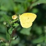 Little Yellow Sulphur at Point Cherokee Park thumbnail