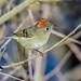 Ruby-crowned Kinglet (backyardzoo) Tags: kinglet rubycrowned coth bird crown tiny specanimal explore