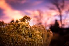 Golden Hill Sunset #1 (Lukas Gordon) Tags: grass bokeh mountaintown 2017 sunset flowersplants colorado outdoor photography lukasgordon