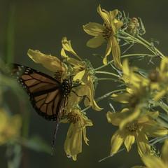 MonarchButterfly_SAF2046 (sara97) Tags: danausplexippus butterfly copyright©2017saraannefinke endangered insect missouri monarch monarchbutterfly photobysaraannefinke pollinator saintlouis