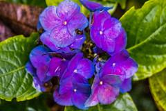 17-11-21 nah hort viol tröp dsc08872-1 (u ki11 ulrich kracke) Tags: blüteviolett hortensie nah terrasse tröp