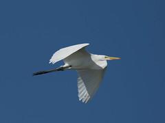 Great Egret (Ardea alba) (Howard Patterson) Tags: texas aransasnwr greategret