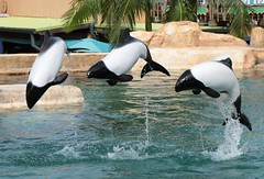 Pepe Ross and Juan (Seals4Reals) Tags: commersons dolphin aquatica orlando juan cephalorhynchus commersonii