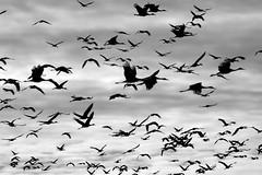 Sandhill Cranes (sarasonntag) Tags: sandhill cranes crane fall migration 2017 waupun wisconsin horicon marsh flight fly november sky black white bird