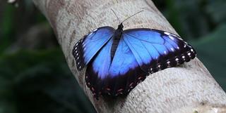 blue morpho butterfly (