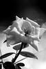 Rose (wi dodow) Tags: flower bw blackwhite nature nationalgeographic natgeo natgeonusantara flickr gettyimages canon canonphotos canonindonesia canonasia desaturate