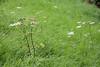 CKuchem-6745 (christine_kuchem) Tags: ackerblumen ackerrand bach bienenweide blumen blumenwiese blühstreifen blüte blüten doldenblütler feldblumen landwirtschaft möhren schmetterlingsblütler uferpflanzen wiese wiesenblume wildblumen weis wild
