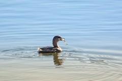 CATCH OF THE DAY (Lisa Plymell) Tags: lisaplymell nikon bird piedbilledgrebe nikond7200 reflection fish
