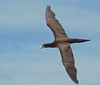 Brown Booby in flight (male) (tregotha1) Tags: michaelmas cay