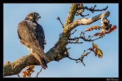 Peregrine Falcon-1 (billthomas_steel) Tags: raptor falcon falcoperegrinus peregrinefalcon bird britishcolumbia fraservalley canada canon eos7dmarkii wildlife