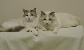 Chats de ma nièce - My niece's cats......Luke et Owen.......28 Nov 2017....DSCN29311