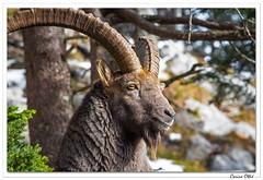 Portrait du vieux valaisan. (C. OTTIE et J-Y KERMORVANT) Tags: nature animaux mammifères bouquetins bouquetindesalpes capraibex montagnes suisse