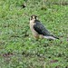 Lanner Falcon (Falco biarmicus), adult