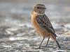 Tarabilla europea (Saxicola rubicola) (24) (eb3alfmiguel) Tags: aves pajáros passeriformes insectívoros turdidos turdidae tarabilla europea saxicola rubicola